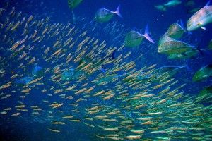 Акваріумні рибки живородящие