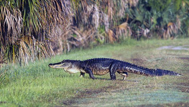 У Флориді алігатор поцупив під воду дворічного хлопчика.