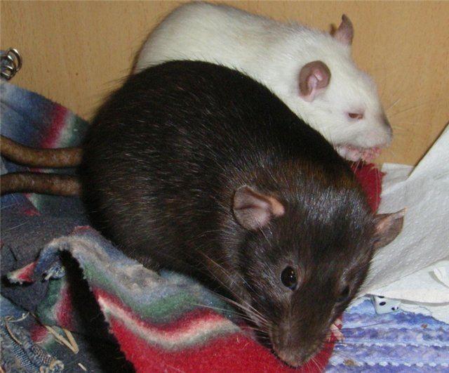 Дивовижні факти про щурів