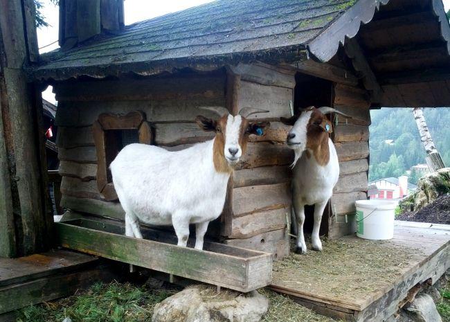 альпійські кози