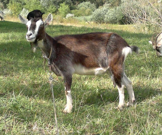 Альпійська порода кіз