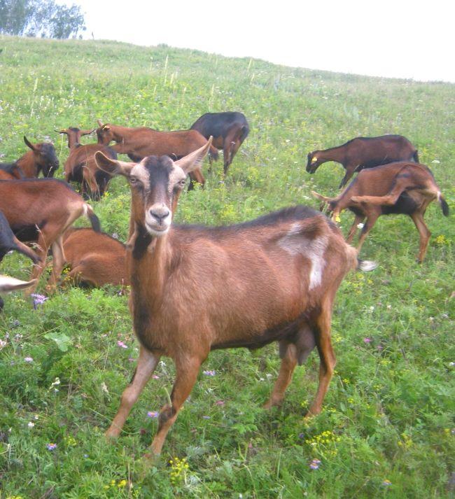 Розведення альпійських кіз