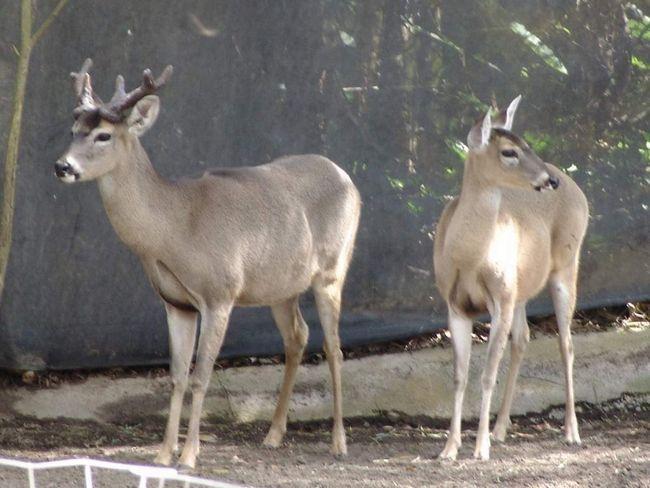 3 підвиди американських оленів занесені до Червоної книги МСОП.
