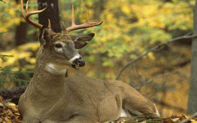 Незважаючи на те, що полювання на них дозволена і щорічно винищуються сотні тисяч оленів, вони швидко відновлюють свою чисельність.
