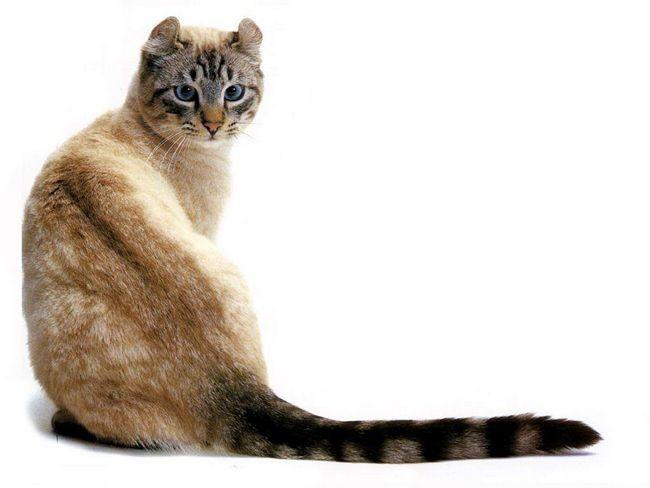 Ця порода - інтелігентна, доброзичлива, грайлива, невибаглива, добре пристосовується до нових умов проживання.
