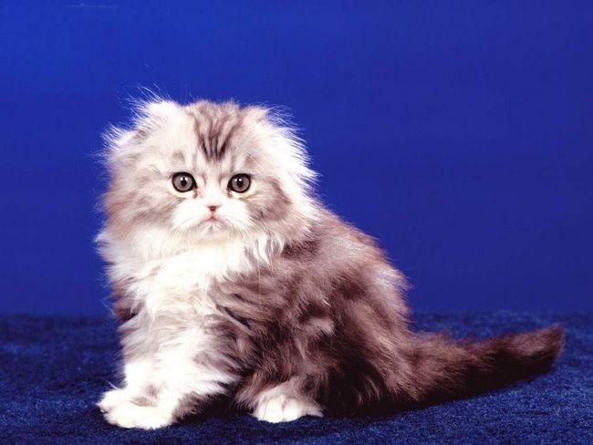 Кошенята кёрлов мають неймовірно м`яку, шовковисту шерсть, з опушеними коміром і хвостом.