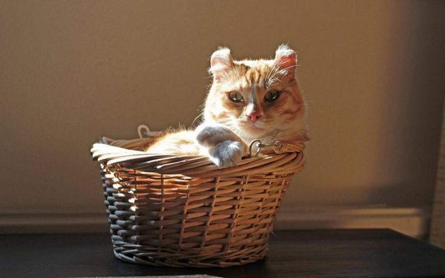 Коти з закрученими вушками, так - це кёрли.