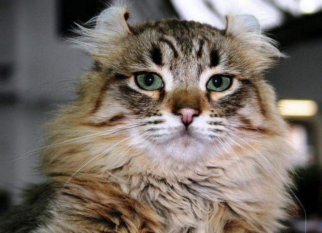 Кішки цієї породи дуже енергійні, вони потребують простору і постійних іграх.