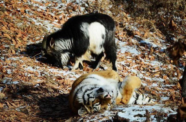 Дружба козла Тимура і тигра Амура.