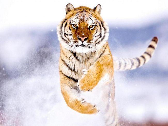Амурський тигр (лат. Panthera tigris altaica)