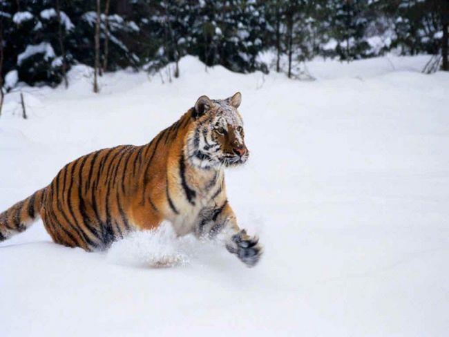 Сніг і холоднеча - природне середовище проживання цього унікального тигра.