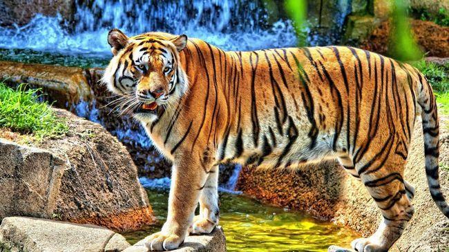 Тигр в природі - дивовижне по красі видовище.