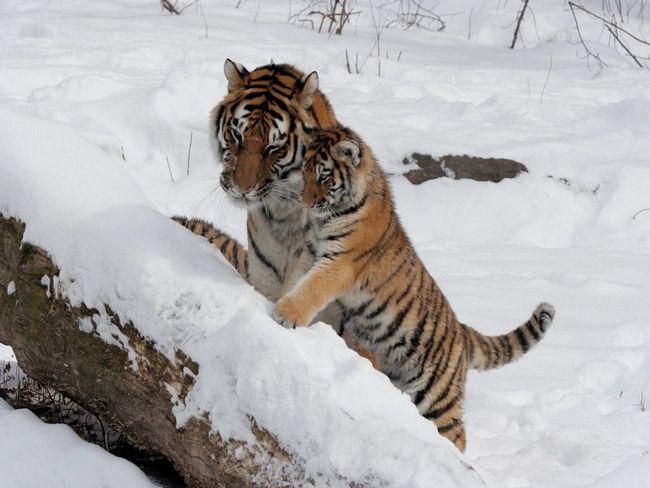 Перші кроки тигрячого потомства по сибірському снігу.