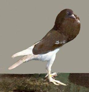 Англійська поутер голуби