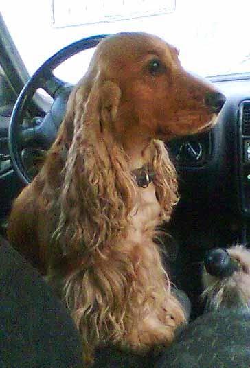Найагресивнішими собаками визнані англійські кокер-спанієлі.