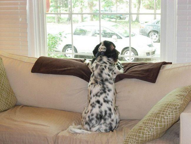 Сетер - доброзичлива і добрий собака.