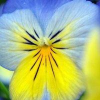Братки квіти