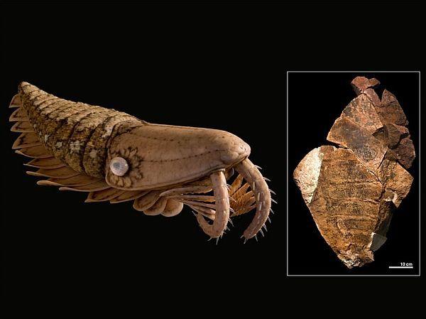 Гігантська креветка-вбивця (праворуч) з ордовика, ймовірно, зовні була схожа на свого кембрійського двоюрідного брата Laggania (зліва).