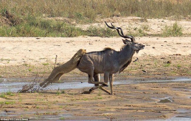 Антилопа куду і голодна левиця