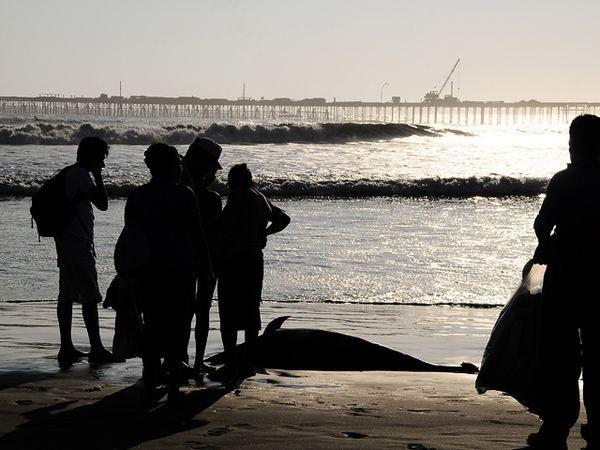 Бразильська світиться акула