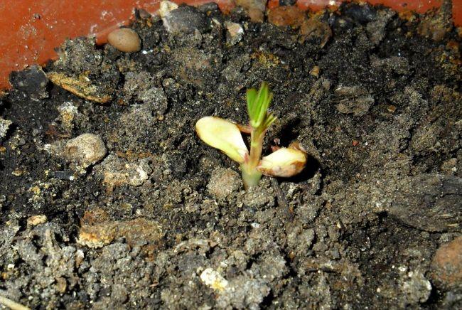 як виростити арахіс