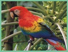 Арамакао або червоний ара / ara macao