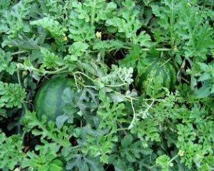 Кавуни вирощування