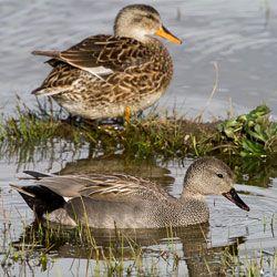 Сірі качки вгорі самка внизу самець