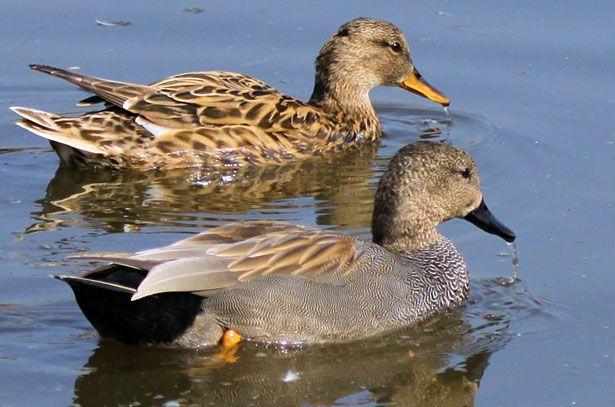 Самець (внизу) і самка (вгорі) сірої качки
