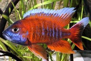 Аулонокара - червона блискавка акваріума