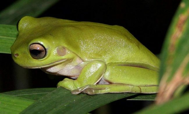 Ця квакша широко зустрічається в Західній Новій Гвінеї (Індонезія), Папуа-Нової Гвінеї.