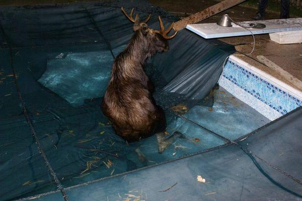 Попав в басейн лося рятували 9 осіб