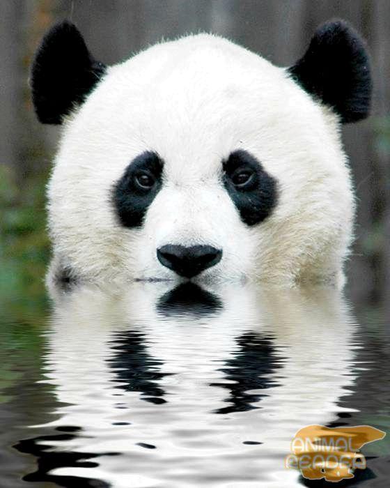 Фото великої панди