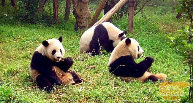 Велика панда фото