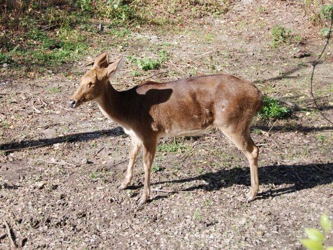Шерсть барасинга забарвлена в коричневі тони, у самок вона зазвичай трохи світліше.