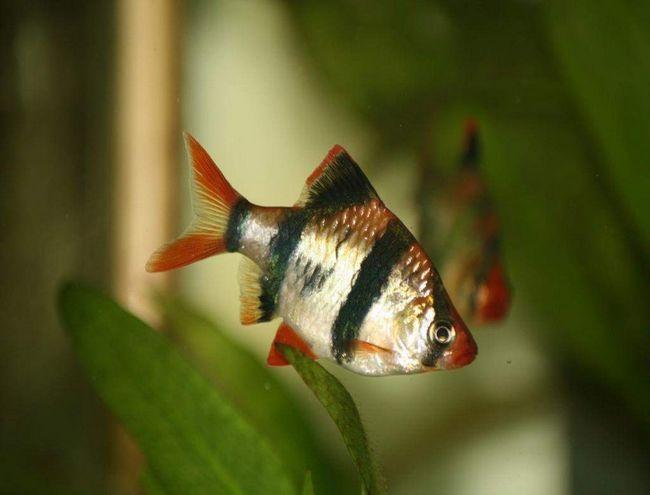 Суматранський барбус (Puntius tetrazona).