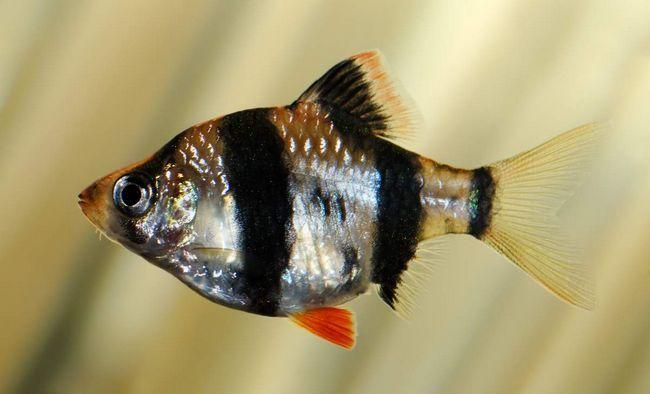 Суматранського Барбуса називають також - чотирисмуговий.
