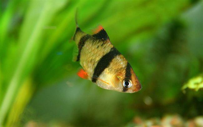 Четирехполоснік - жива і рухома рибка.