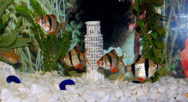 Суматранскіе барбуси - мирні рибки.
