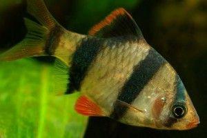 Барбуси: сумісність з іншими рибками