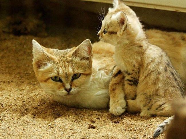 Барханна кішка - маленьке диво, кішка-кошеня