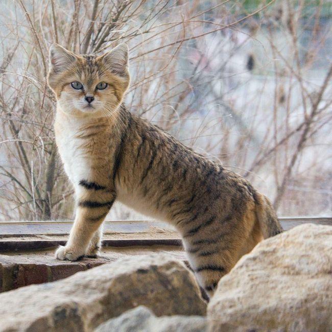 Піщаний кіт, або барханна кішка (лат. Felis margarita)
