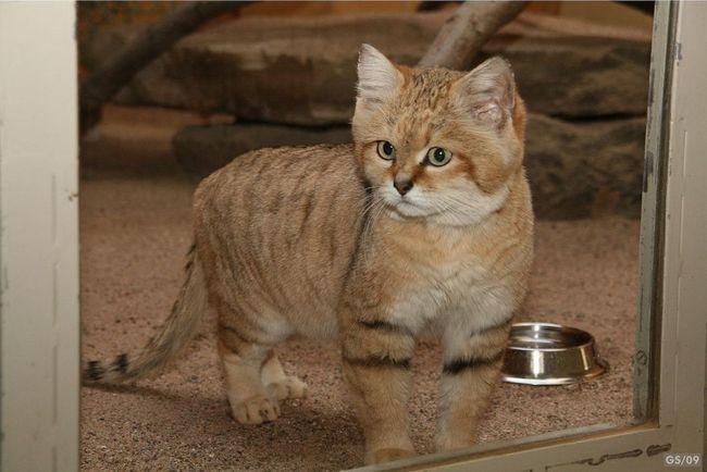 Піщана, барханна, або пустельна кішка (Felis margarita).
