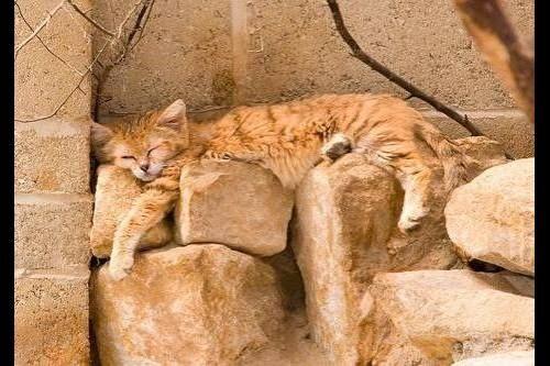 Піщана, барханна, або пустельна кішка (Felis margarita)