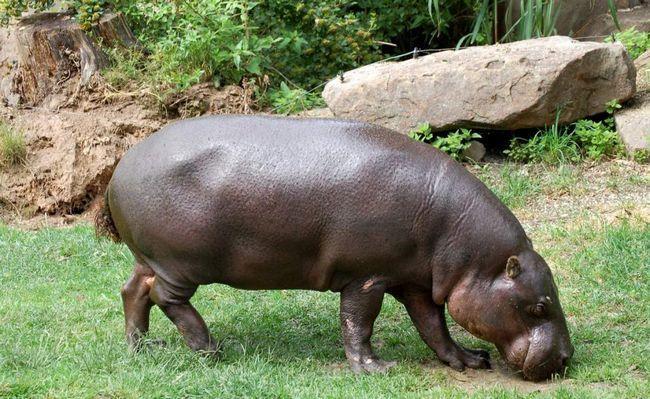 Карликові бегемоти - травоїдні тварини.