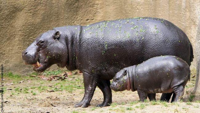 Самка карликового бегемота з малюком.