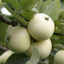 Біла біла яблуня