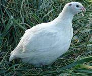 Біла техаська порода перепелів