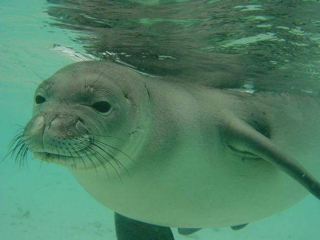 Белобрюхий тюлень: факти з життя хижака