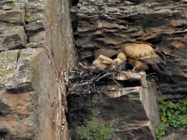 Гніздо білоголових сипів на скелях.